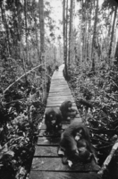 When it's raining, rescued orangutans prefer hanging out on the boardwalk to climbing wet trees