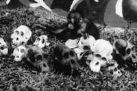 Orphaned Nian plays amidst carved orangutan skulls confiscated from local merchants