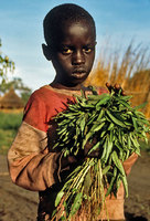 Young boy with gathered wild grasses for his family dinner, camp for the displaced in Southern Sudan