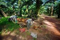 Harvesting palm oil fruit with