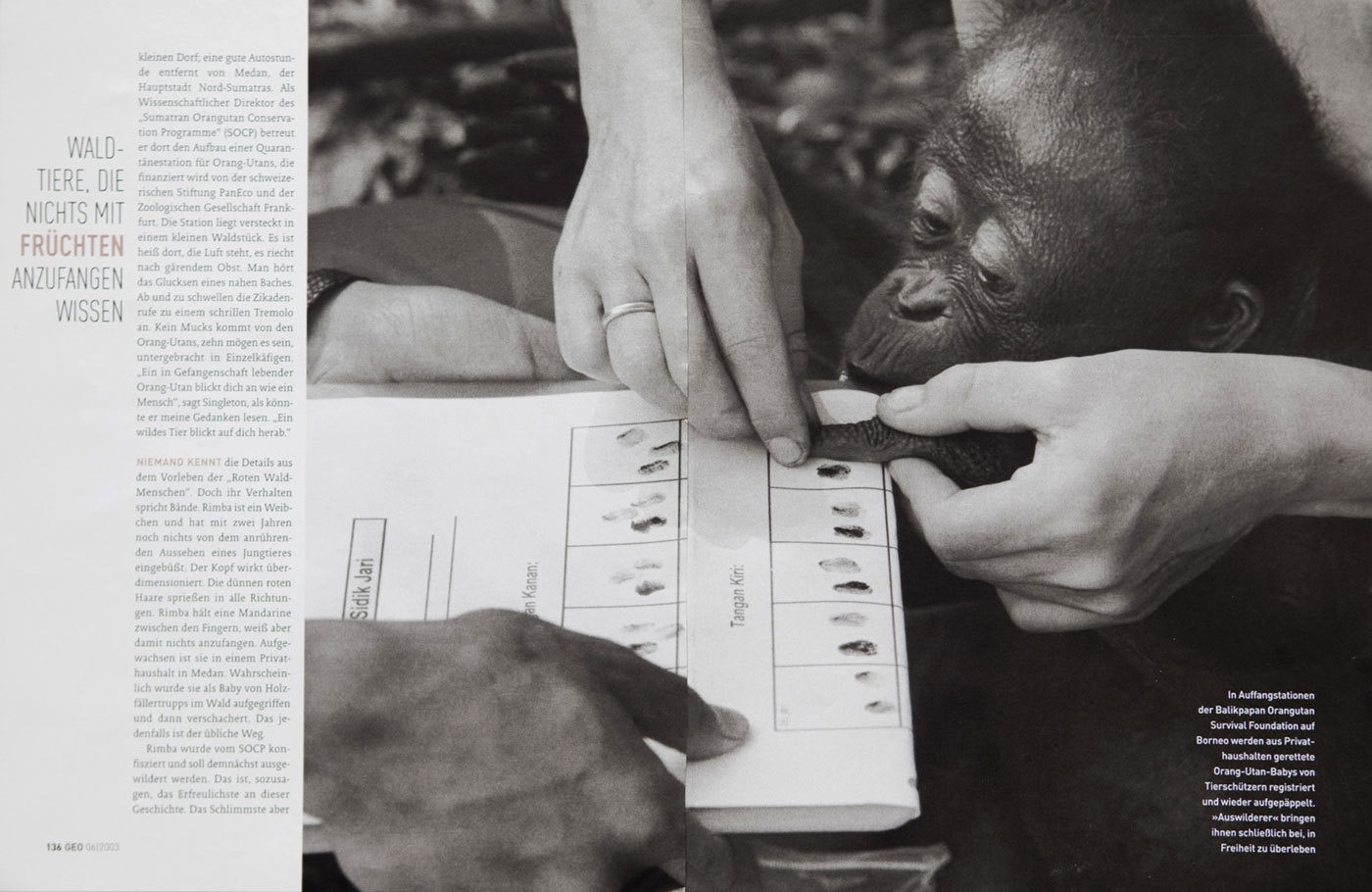 Orangutans Survival in Borneo. German Geo. : TEAR SHEETS : Viviane Moos |  Documentary Photographer